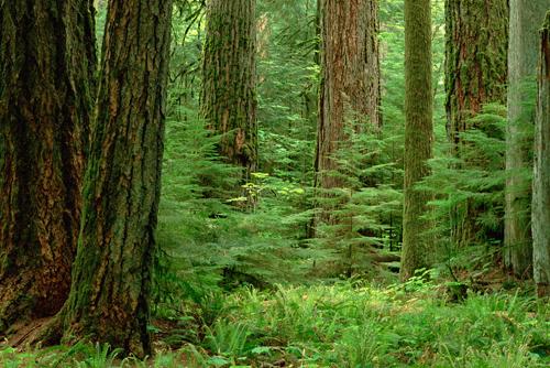 Gerry Ellis Douglas Fir Old Growth Forest Vancouver
