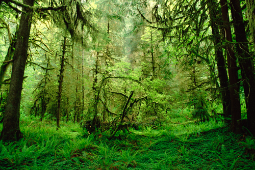 Gerry Ellis Rainforest Hoh River Valley Olympic Na