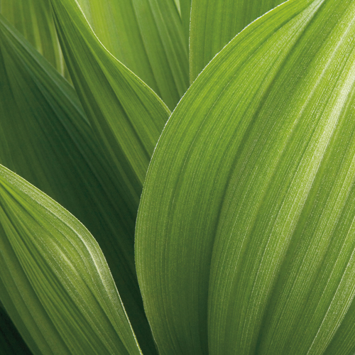 Jan Bell Corn Lily