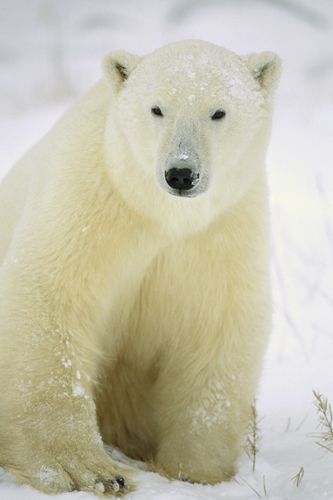 Konrad Wothe Polar Bear Adult Portrait Churchill Ca