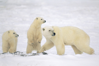 Konrad Wothe Polar Bear Mother With Two Cubs Churchi