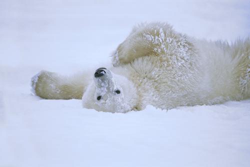 Konrad Wothe Polar Bear Rolling In Snow Hudson Bay