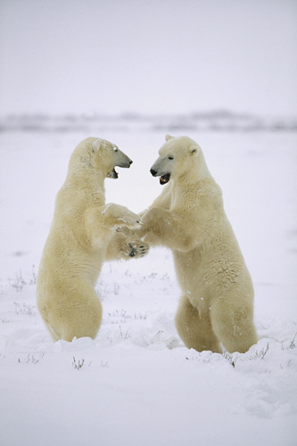 Konrad Wothe Polar Bear Two Males Play Fighting Huds