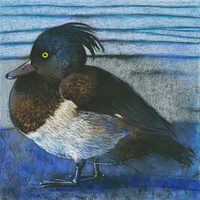 Loes Botman Tufted Duck