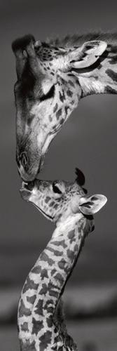 Marilyn Parver Masai Mara Giraffes