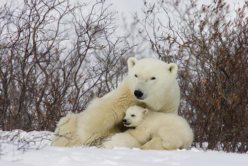 Matthias Breiter Three Month Old Polar Bear Cubs Nursing