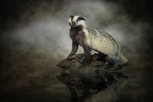 Michiel Visser European Badger