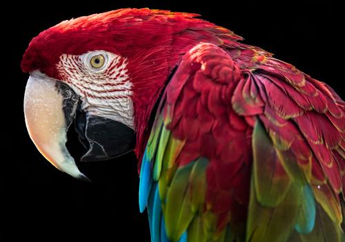 Ronin Ara Parrot