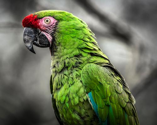 Ronin Green Ara Parrot