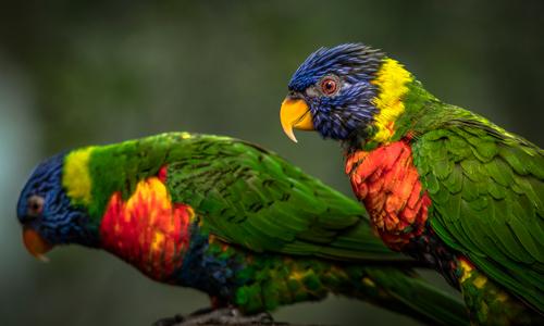 Ronin Green Birds