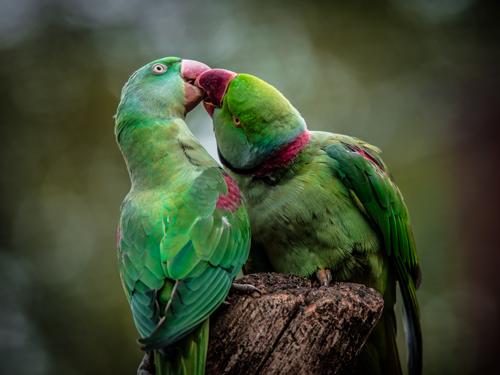 Ronin Green Parrot I