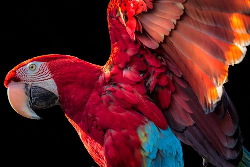 Ronin Parrot Wings