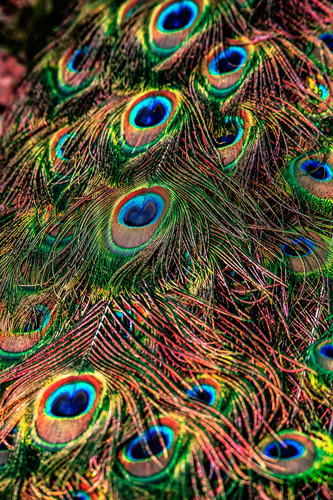 Ronin Peacock Feathers