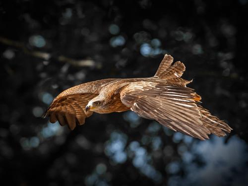 Ronin Red Kite Flies