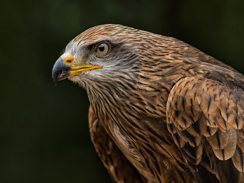 Ronin Red Kite