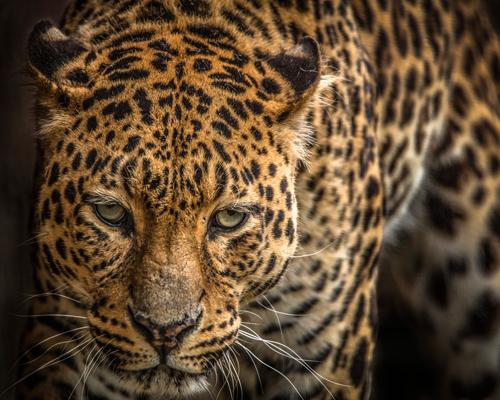 Ronin The Jaguar Iii