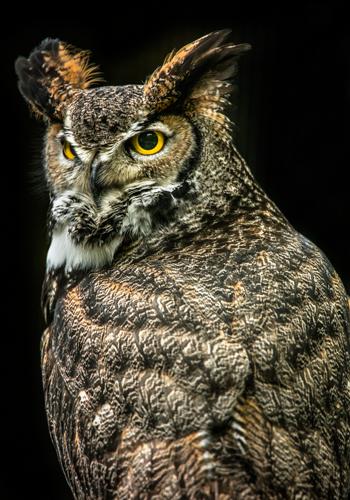 Ronin Wisdom Owl Iii