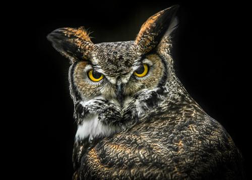 Ronin Wisdom Owl