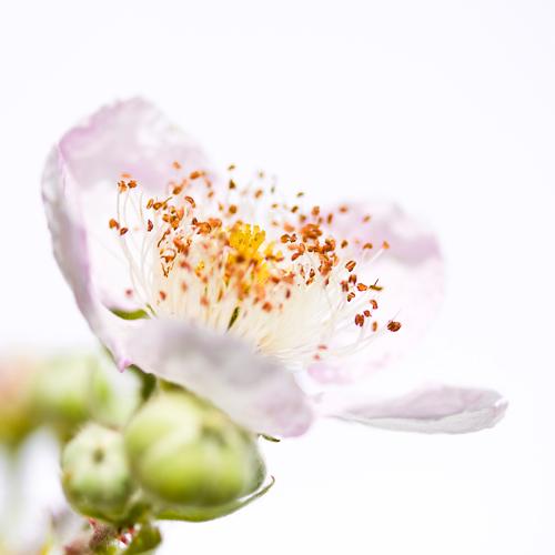 Sonja Durnberger Rubus Sectio Rubus