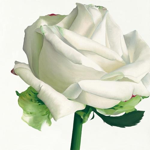 Stephanie Andrew White Rose I
