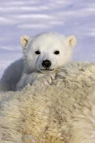 Suzi Eszterhas Polar Bear Cub Peeking Over Mother S Bod