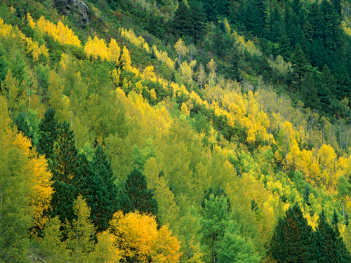 Tim Fitzharris Aspen Grove In Fall Colors Gunnison Nat