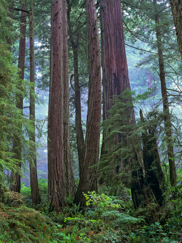 Tim Fitzharris Old Growth Forest Of Coast Redwood Stand