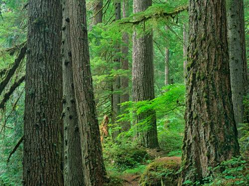Tim Fitzharris Old Growth Forest Of Western Red Cedar G