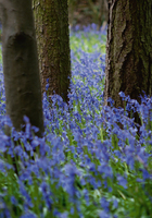 Tom Lambert Bluebell Wood L