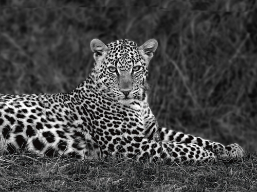 Xavier Ortega Leopard Portrait